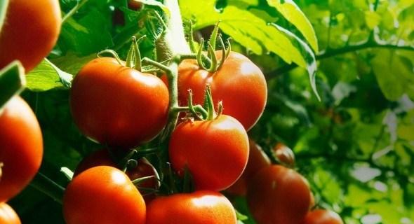 Инновационный препарат «Паслиний» позволит получать рекордные урожаи томатов, перца и баклажан