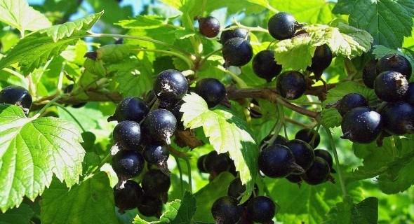 Черная смородина: как ее рассадить в августе