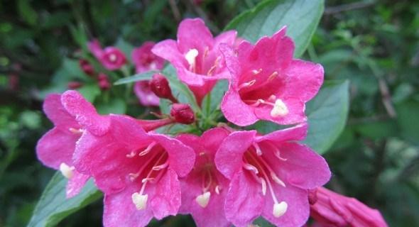 Очаровательные вейгелы: красочный бал цветения