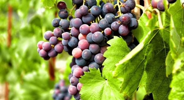 Виноградный клещ-зудень: распознаем и боремся