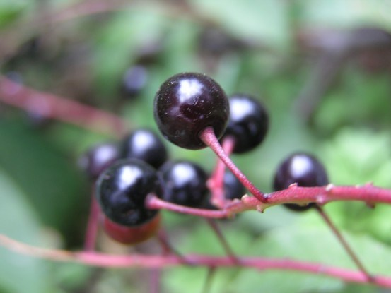 Кисть со зрелыми плодами черёмухи обыкновенной