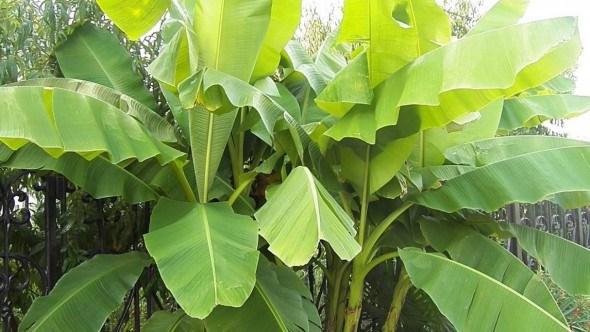Как вырастить банан в саду