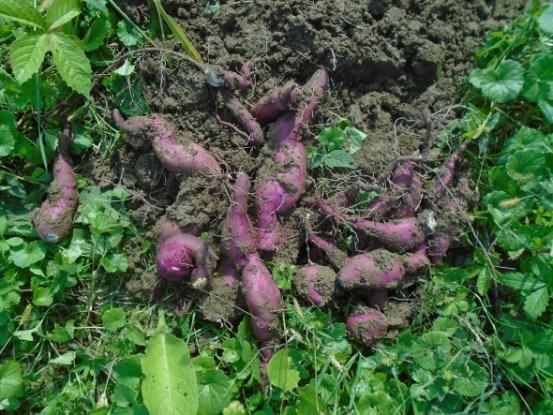 Батат – картофелю не брат: особенности культуры
