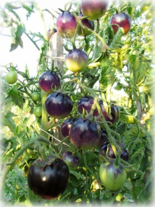 Сорт томатов черри Bleve P20