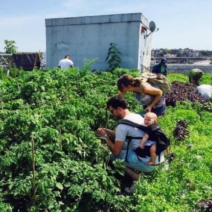 Собираем урожай всей семьей в Brooklyn Grange