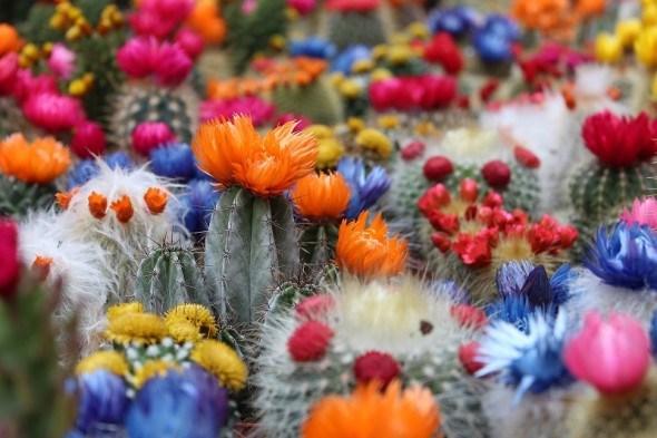 Кактусы, зеленые розы пустыни