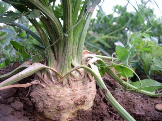 Выращиваем сельдерей рассадным и безрассадным способом