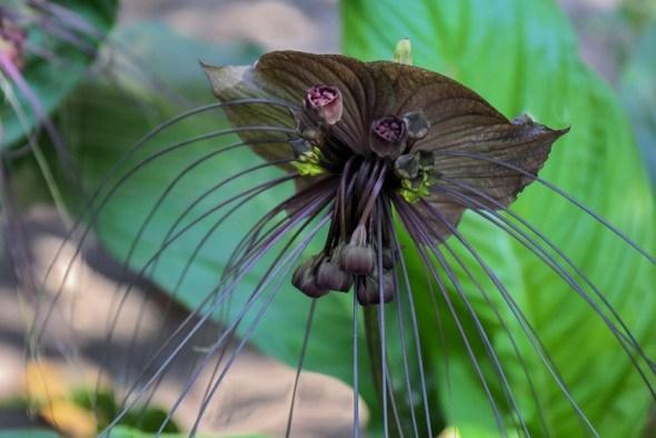 Черная лилия Такка