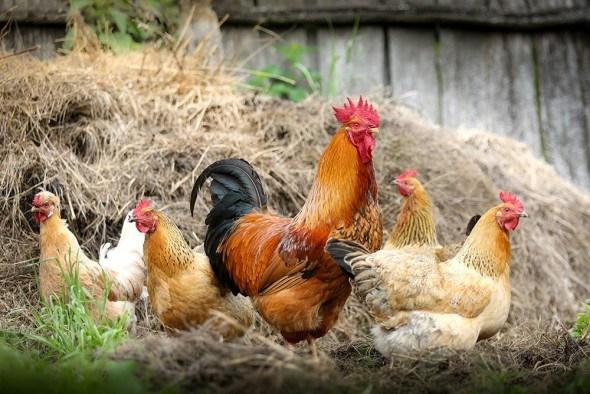 Уход за курицами в домашних условиях содержание 90
