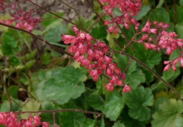 Гейхеры в цветнике: посадка, уход, размножение