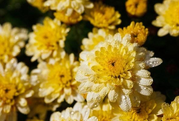 Желтые хризантемы цветки