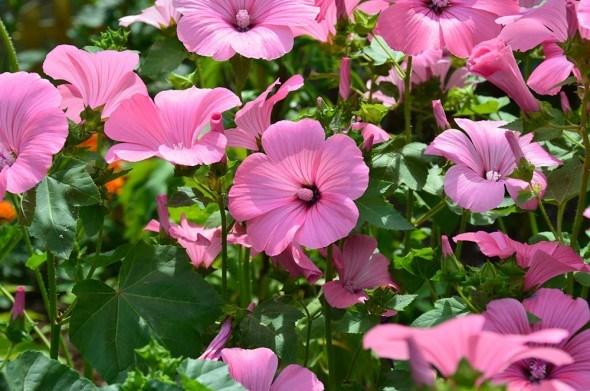 Неприхотливая лаватера: выращивание, размножение и сорта