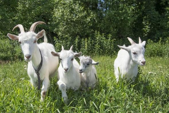 Основы козьего рациона: чем, как и когда кормить домашних коз?