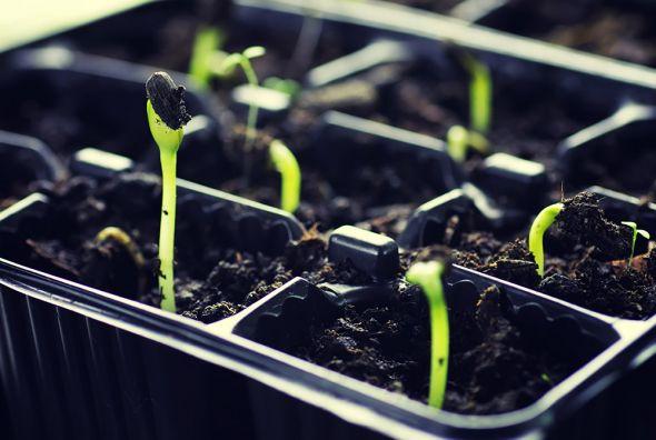 В чем лучше выращивать рассаду?