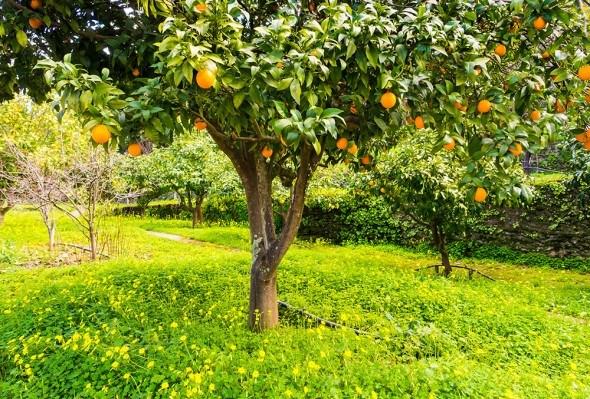 Апельсин дерево сад