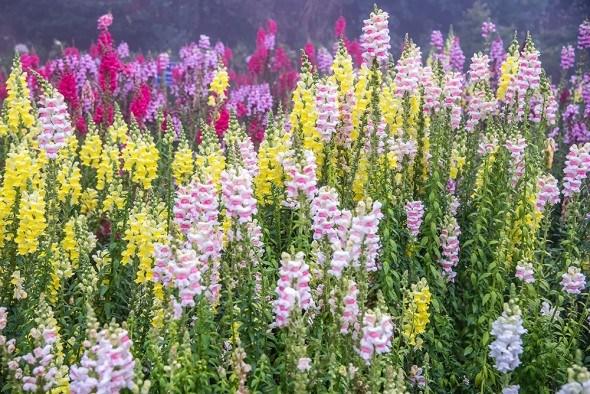 Львиный зев цветки разноцветные