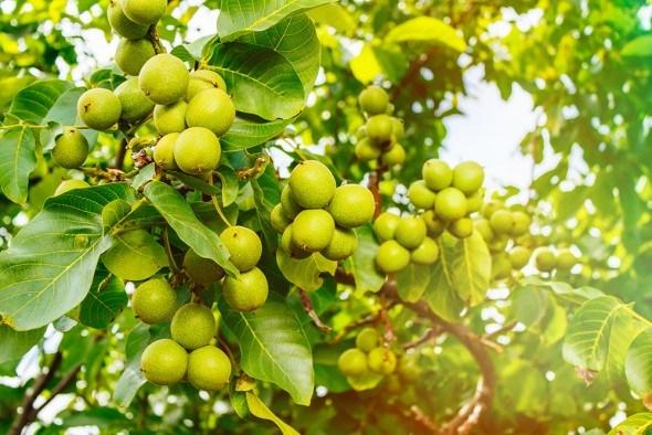 грецкий орех дерево плоды