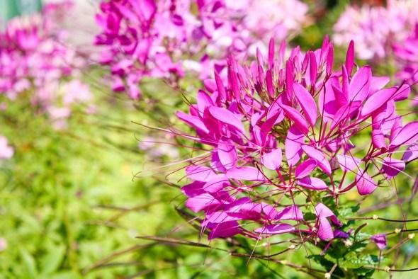 Экзотичная клеома: основы агротехники, размножение, сорта и виды