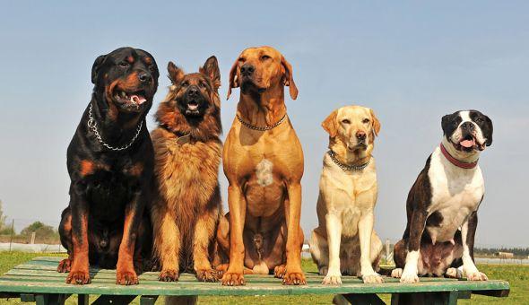 ротвейлер, овчарка, собаки