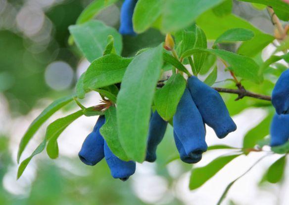 Жимолость синяя: агротехника, обрезка, популярные сорта