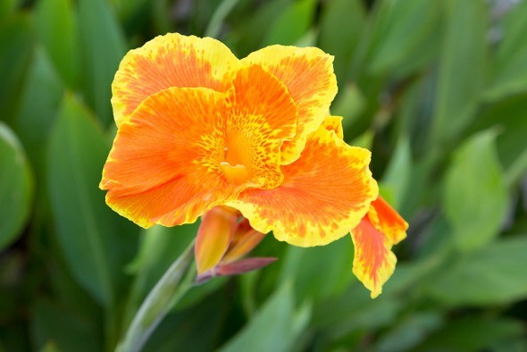 Канна цветок