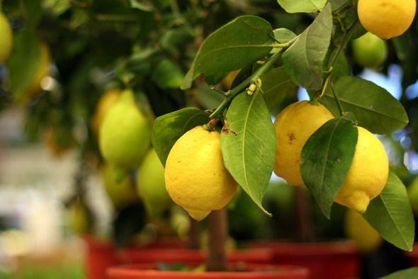Лимон в закрытом грунте выращивание