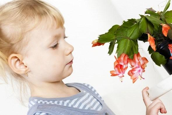 Шлюмбергера цветок ребенок смотрит