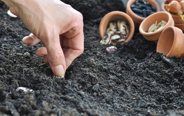 сажать фасоль в грунт