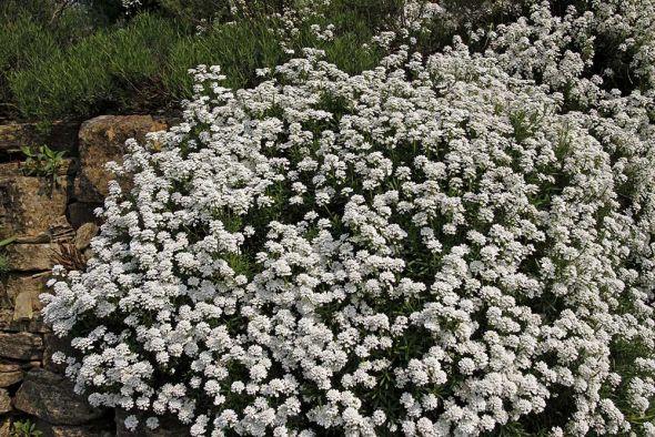 Воздушный иберис: выращивание, уход и размножение