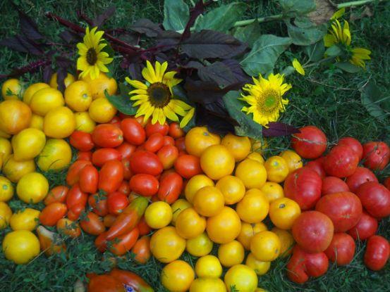 Особенности выращивания самых вкусных томатов
