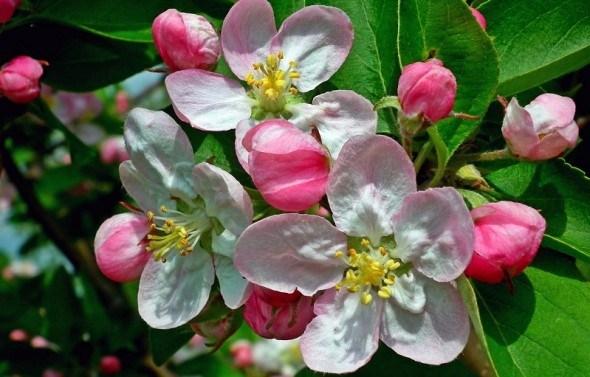 Захист плодового саду від хвороб та шкідників