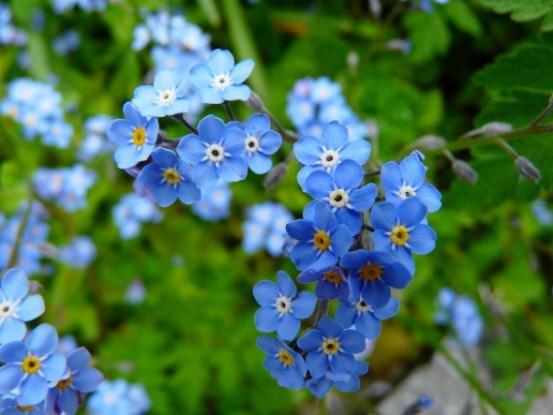 Нежные незабудки: выращивание, размножение, популярные сорта