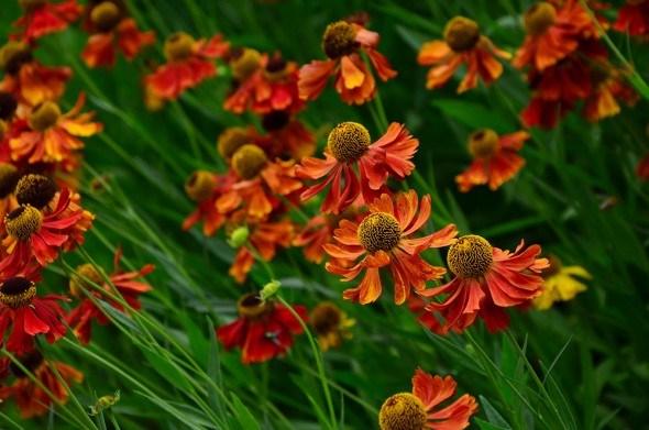 Гелениум — яркий цветок: выращивание, уход, размножение, сорта и виды