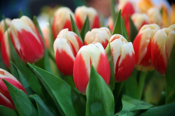 Купить тюльпаны на выгонку к 8 марта киев купить кусты розы дешево