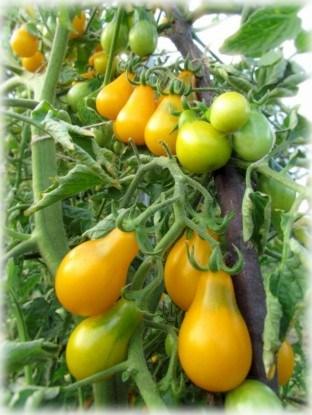 Сорт томатов черри Китайская груша желтая
