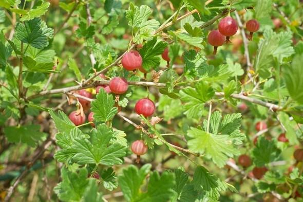 5 причин малого количества ягод на кустах смородины и крыжовника