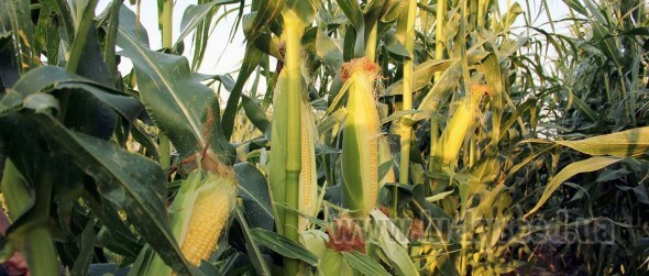 Кукуруза сахарная LS 779 F1