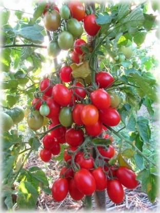 Сорт томатов черри Лебяжий пух