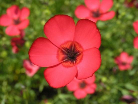 Лен крупноцветковый
