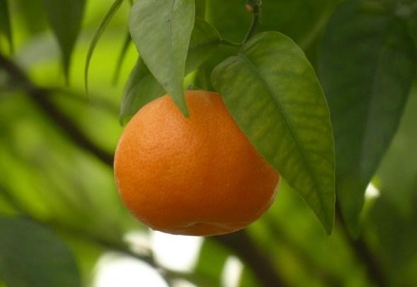 Счастье зреет на деревьях: мандарин в комнатной культуре