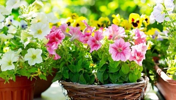 Сорта однолетников для цветника