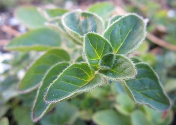 Выращиваем пряно-ароматические культуры