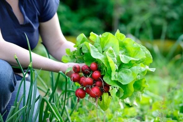 Особенности посева редиса в августе