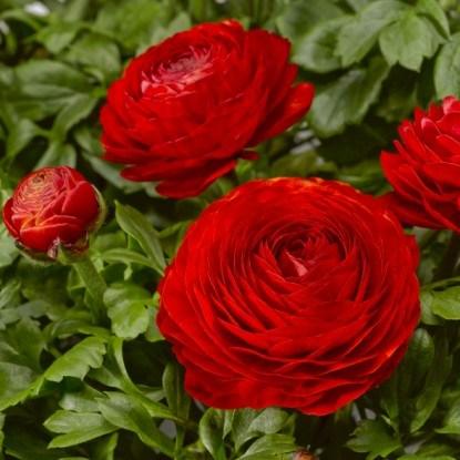 Ранункулюс – цветок с красивыми махровыми соцветиями.