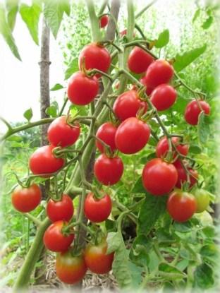 Сорт томатов черри Шалун