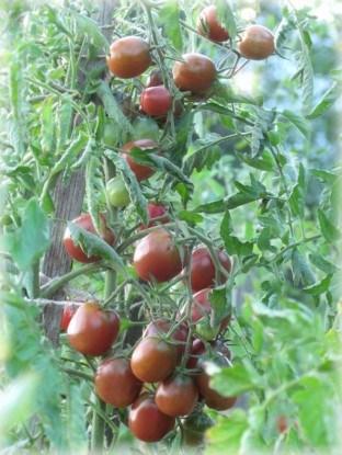 Сорт томатов черри Шоколадная капелька