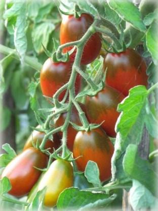 Сорт томатов черри Шоколадная пуля