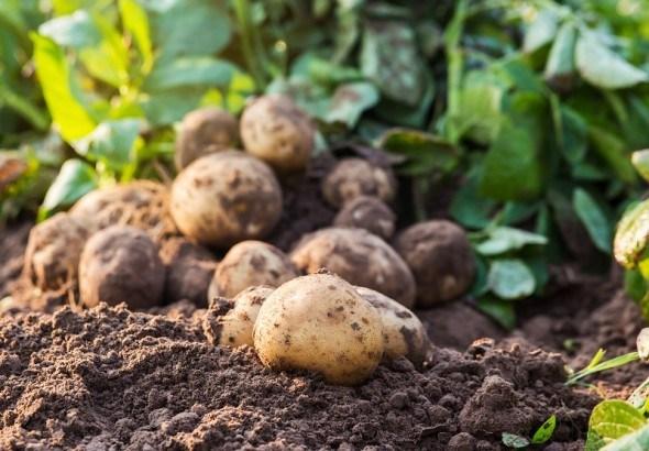 Захист картоплі від хвороб