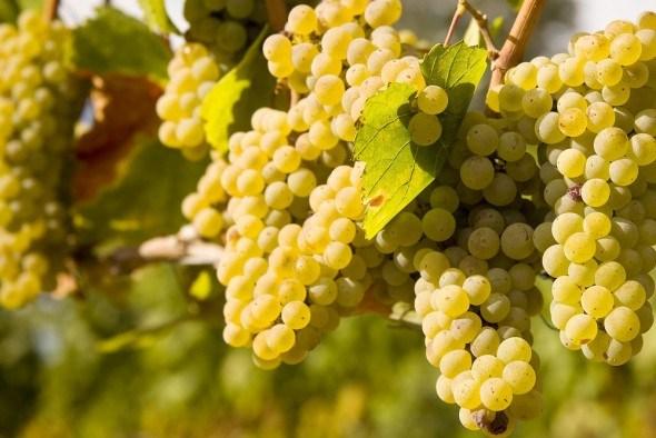 Защита виноградника