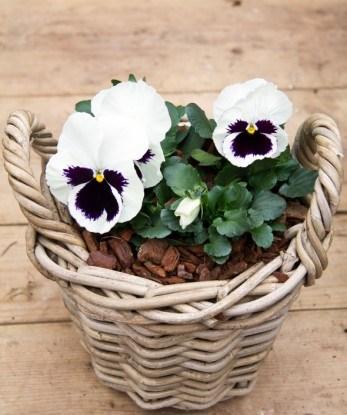 Виола – нежный и одновременно яркий цветок, его еще называют анютины глазки